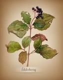 Ветвь акварели elderberry Стоковые Фото