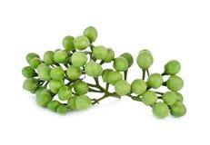 Ветвь баклажана гороха или ягоды индюка на белой предпосылке Стоковая Фотография RF