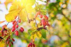 Ветвь барбариса барбариса vulgaris с желтыми листьями осени стоковая фотография rf