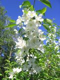 Ветвь белых цветков зацветая яблони весной стоковая фотография