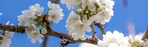 Ветвь белого вишневого цвета для длинного знамени и панорамы Стоковые Фотографии RF