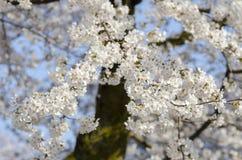 Ветвь белого одичалого гималайского вишневого цвета, дерева Сакуры Стоковые Изображения RF