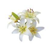 Ветвь белой лилии Стоковое Изображение