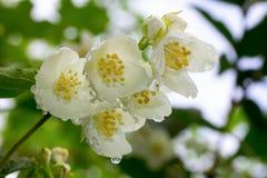 Ветвь белых цветков жасмина в дождевых каплях стоковые фотографии rf
