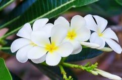 Ветвь белых цветков frangipani Стоковые Фотографии RF