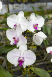 Ветвь большого белого цветка орхидеи красивейшие цветения закрывают вверх Цветок орхидеи на ветви в саде орхидей Таиланд Стоковые Фотографии RF