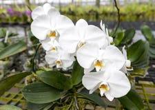 Ветвь большого белого цветка орхидеи красивейшие цветения закрывают вверх Цветок орхидеи на ветви в саде орхидей Таиланд Стоковые Изображения RF
