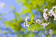 Ветвь вала вишни весной Стоковые Изображения