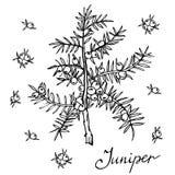 Ветвь вектора можжевельника с ягодами Иллюстрация нарисованная рукой травяная в стиле эскиза Стоковая Фотография RF