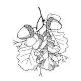 Ветвь вектора при богато украшенные листья дуба и 5 жолудей изолированных на белизне бесплатная иллюстрация