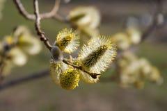 Ветвь вербы цветения Стоковое Фото