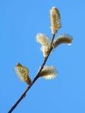 Ветвь вербы Стоковые Фотографии RF