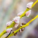 Ветвь вербы pussy с дождевыми каплями весной стоковые фотографии rf