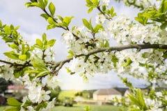 Ветвь весны зацветая с зелеными листьями стоковые изображения rf