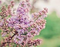 Ветвь весны конца-Вверх сирени пастели Стоковая Фотография
