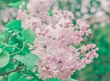 Ветвь весны конца-Вверх сирени пастели Стоковые Изображения RF