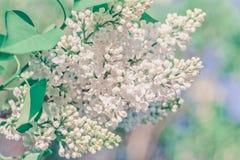 Ветвь весны конца-Вверх сирени пастели Стоковые Фотографии RF