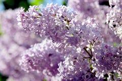 Ветвь весны сирени/цветков весны Стоковое фото RF
