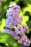 Ветвь весны сирени/цветков весны Стоковая Фотография RF