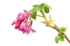 Ветвь весны смородины зацветая с свежими листьями и красными цветками Стоковые Изображения RF
