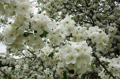 Ветвь весны с цветками стоковое изображение rf