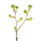 Ветвь весны foliar дерева с много бутонами в форме зеленых tassels изолированных на белизне Стоковые Фотографии RF