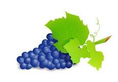 Ветвь виноградины с голубыми виноградинами Реалистическое illustartion вектора иллюстрация штока
