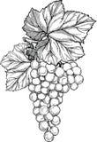 Ветвь виноградины с связкой винограда и листья Стоковое фото RF