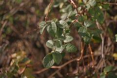 Ветвь виноградин в осени Стоковые Изображения