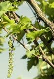 Ветвь виноградины с молодыми листьями Стоковое Изображение RF