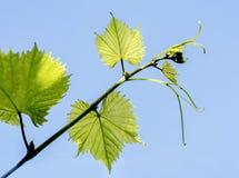 Ветвь виноградины с молодыми листьями Стоковые Фото