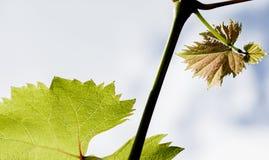 Ветвь виноградины с молодыми листьями Стоковое Фото