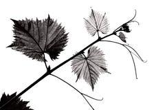 Ветвь виноградины B/W с молодыми листьями Стоковое Изображение RF