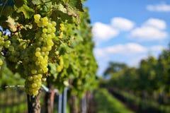 Ветвь виноградин белого вина Стоковое Изображение