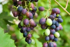 Ветвь виноградин в саде Стоковые Изображения