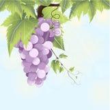 Ветвь виноградин Иллюстрация штока