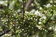Ветвь вишневого дерева обильно посыпанного с бутонами цветков стоковые фотографии rf
