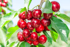 Ветвь вишневого дерева с темнотой - красных зрелых ягод Стоковая Фотография