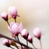 Ветвь вишневого дерева стоковые фото