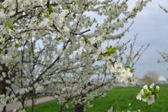 Ветвь вишневого цвета на предпосылке вишневого дерева Стоковая Фотография RF