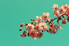 Ветвь вишневого цвета стоковые изображения