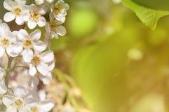 Ветвь вишневых цветов в природе стоковая фотография rf
