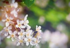 Ветвь вишневых цветов в природе стоковое фото rf