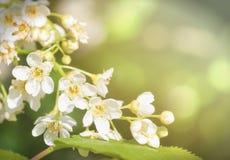 Ветвь вишневых цветов в природе стоковое изображение