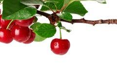 Ветвь вишни при листья и немногие ягоды изолированные на белизне Стоковые Изображения RF