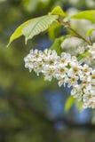 Ветвь вишни птицы в саде Стоковое Изображение RF