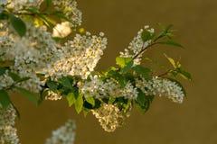 Ветвь вишни птицы в цветении Стоковые Изображения RF