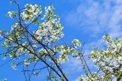 Ветвь вишни с белыми цветками Стоковое Изображение RF