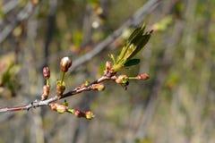 Ветвь вишни с бутонами и детенышами выходит в предыдущую весну Стоковые Изображения