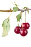 Ветвь вишни с листьями стоковая фотография